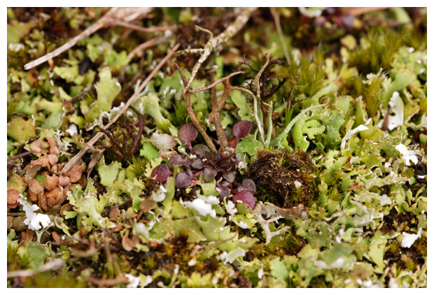 foto´s, Zomersneeuw, Elandgeweimos (Cladonia foliacea), korstmos