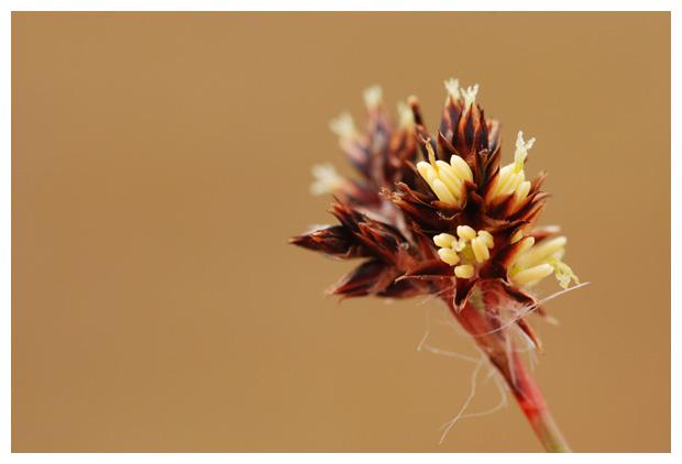 foto's Gewone veldbies (Luzula campestris), gras