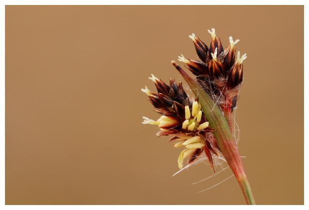 foto's, Gewone veldbies (Luzula campestris), gras