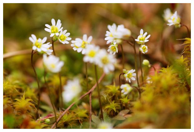 foto's, Vroegeling (Erophila verna), plant