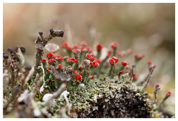 foto's, Rode heidelucifer (Cladonia floerkeana), korstmos