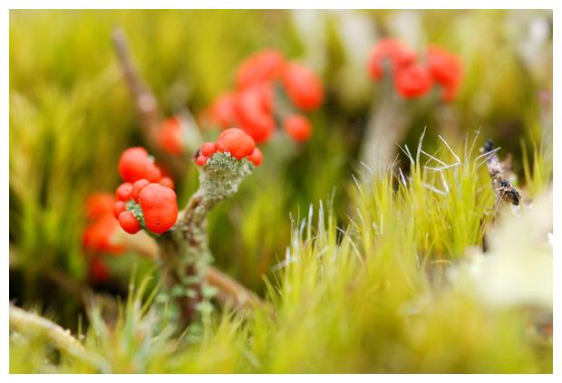 foto´s, Rood bekermos (cladonia coccifera), korstmos