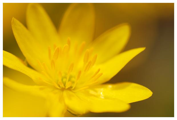 foto's, Gewoon speenkruid (Ranunculus ficaria subsp. bulbilifer), plant