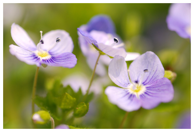 foto's, Gewone ereprijs (Veronica chamaedrys), plant