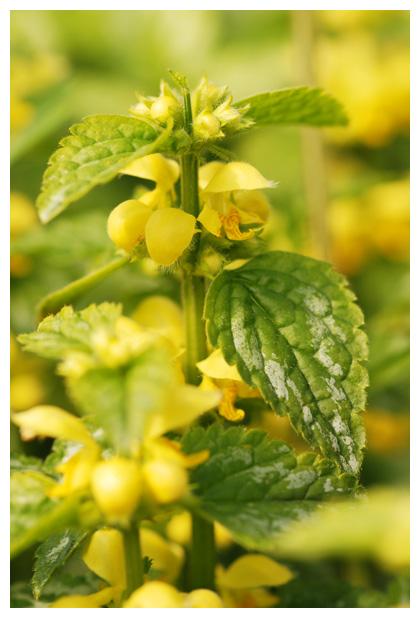 foto´s, Bonte gele dovenetel (Lamiastrum galeobdolon 'Florentinum')