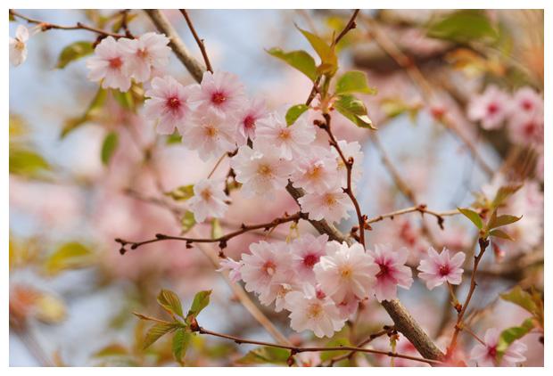 foto's, Prunus serrulata 'Ichiyo', rose bloesem