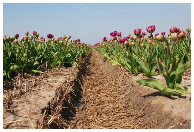 foto's, tulp, tulpenveld