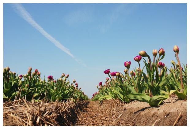 foto's, tulp, tulpen, tulpenveld