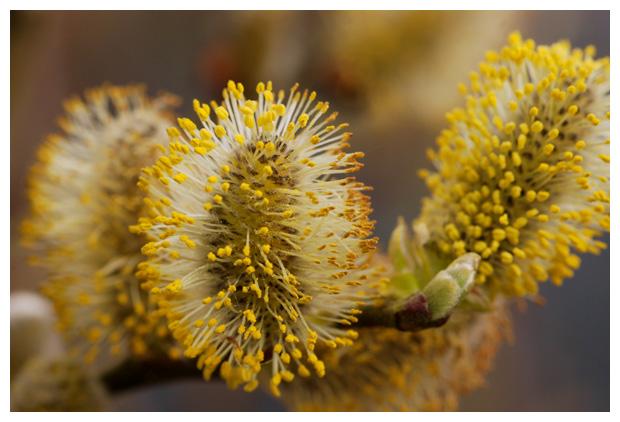foto's, Grauwe wilg (Salix cinerea)