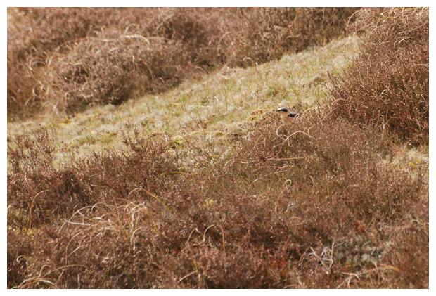 foto´s, Tapuit (Oenanthe oenanthe), vogel