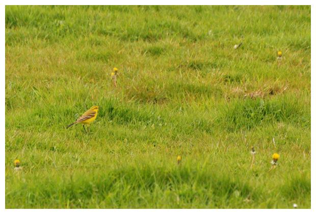 foto's, Engelse gele kwikstaart (Motacilla flava flavissima), vogel