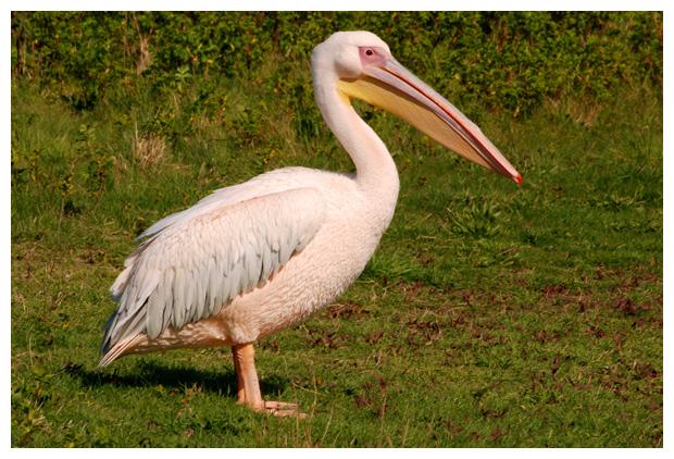 foto's, Roze pelikaan (Pelecanus onocrotalus), vogel