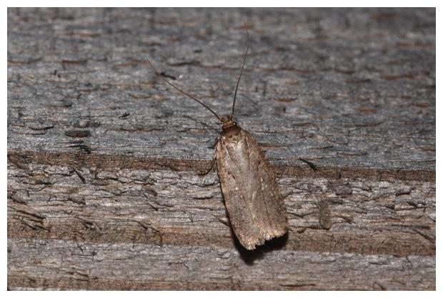 foto's, Gewone kaartmot (Agonopterix heracliana), nachtvlinder