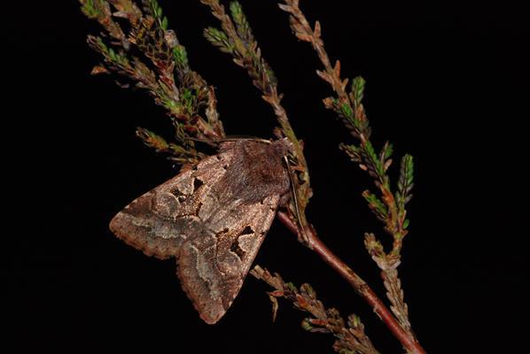 foto's, Nunvlinder (Orthosia gothica), vlinder