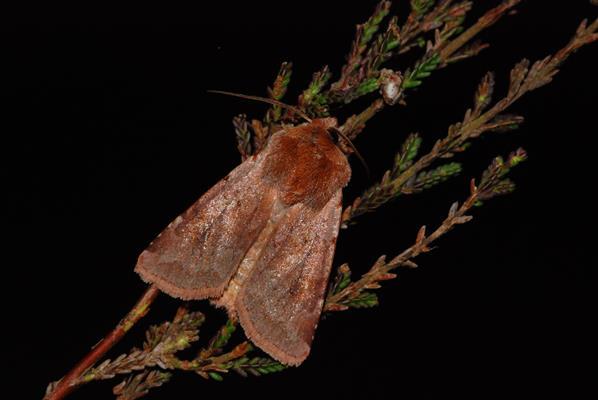 foto's, Rode vlekkenuil (Cerastis rubricosa), nachtvlinder