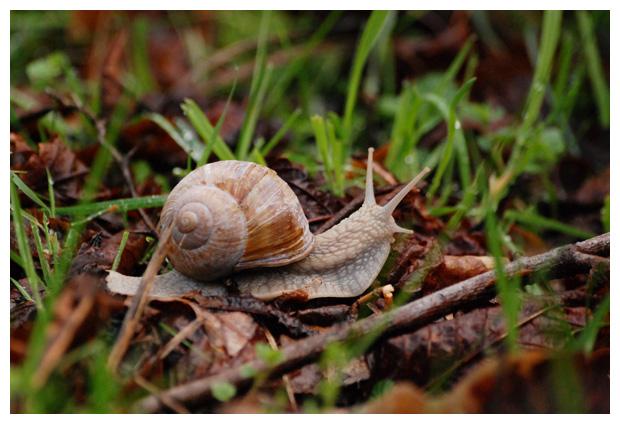 foto's, Wijngaardslak (Helix pomatia), slak