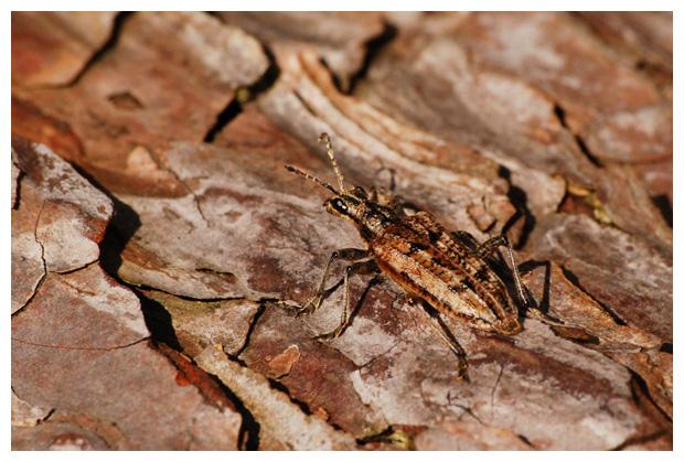 foto's, diverse verschillende soorten Boktorren (Cerambycidae), kever