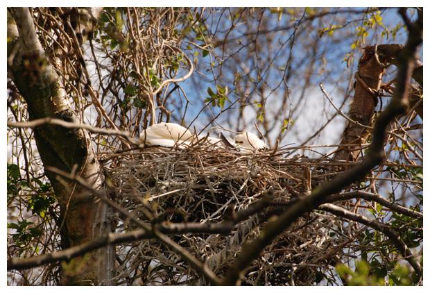 foto´s, Lepelaar (Platalea leucorodia), vogel