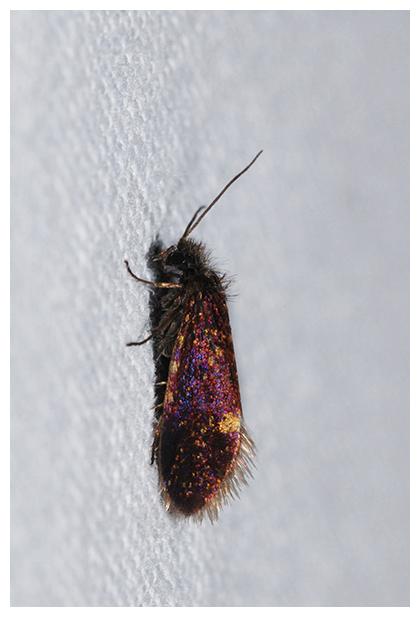 foto´s, Variabele purpermot (Eriocrania semipurpurella), nachtvlinder