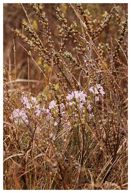 foto, Pinksterbloem (Cardamine pratensis), plant