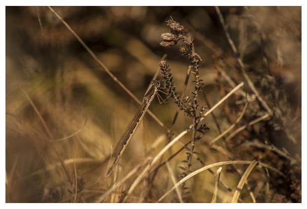 foto's, Bruine winterjuffer (Sympecma fusca), pantserjuffer