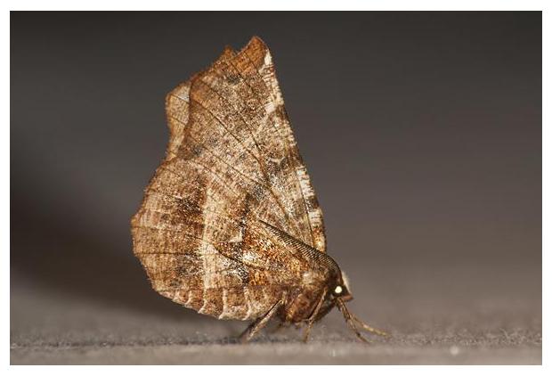 foto's, Herculesje (Selenia dentaria), nachtvlinder, vlinder