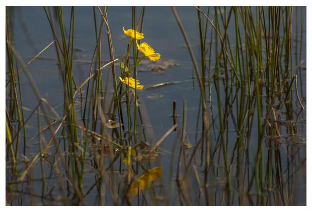 foto's, Gewone dotterbloem (Caltha palustris subsp. palustris), oeverplant