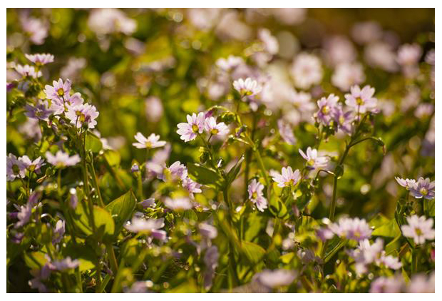 foto´s, Roze winterpostelein (Claytonia sibirica), bloem