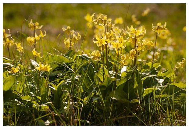 foto's, Gele hondstand (Erythronium Pagoda), gele bloem