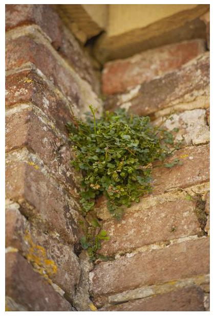 foto's, Muurvaren (Asplenium ruta-muraria), plant