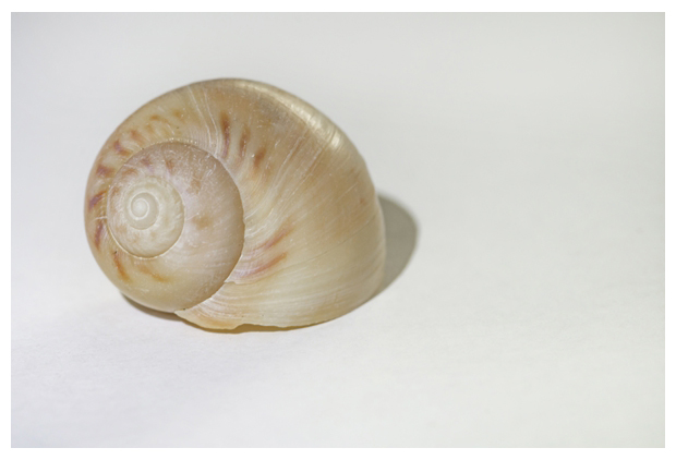 foto's, Grote tepelhoren (Euspira catena), slakenhuis