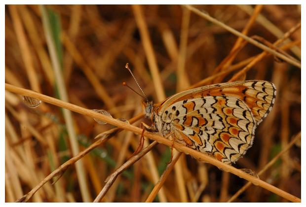knoopkruidparelmoervlinder (melitaea phoebe), knoopkruidparelmoervlinders, parelmoer, parelmoervlinder, parelmoervlinders, parelmoervlindertje, knoopkruidparelmoervlinderfoto´s, vlinder, vlinders, vlindertje,,