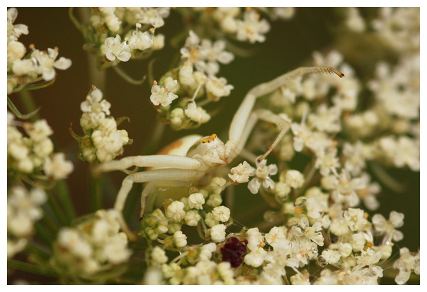 foto's, Gewone kameleonspin (Misumena vatia), krabspin
