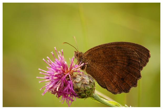 foto's, Blauwoogvlinder (Minois dryas), vlinder