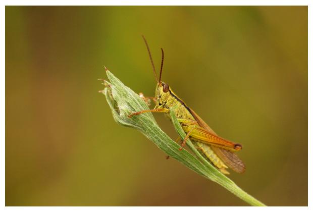 sprinkhaan, sprinkhanen, sprinkhaantje, sprinkhaantjes, sprinkhaanfoto´s, dier, dieren, dierenfoto´s, dierenfotos, insect, insecten, insekt, insekten