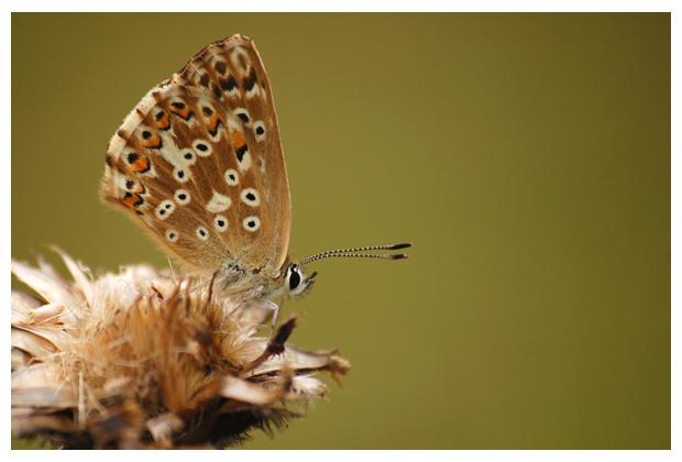 foto's, Bleek blauwtje (Polyommatus coridon), vlinder