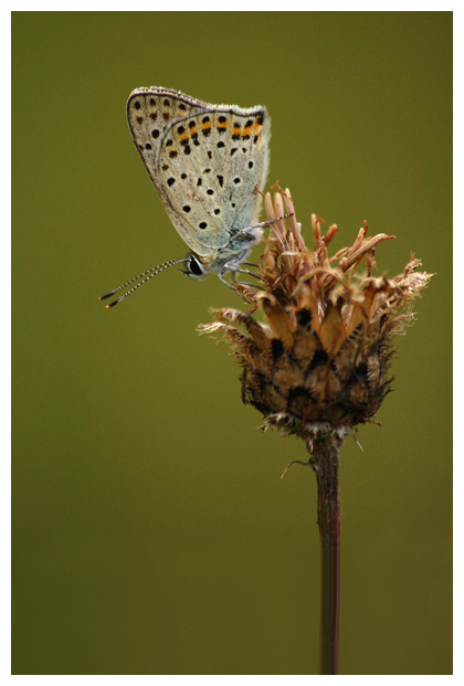 bruine vuurvlinder (Lycaena tityrus), bruin vuurvlindertje, vuurvlinderfoto´s, vlinder, vlinders, vlindertje, vlindertjes, vlinderfotos, vlinderfoto´s, vlinderfoto's, dagvlinder, dagvlinders, insect, insecten, insekt, insekten