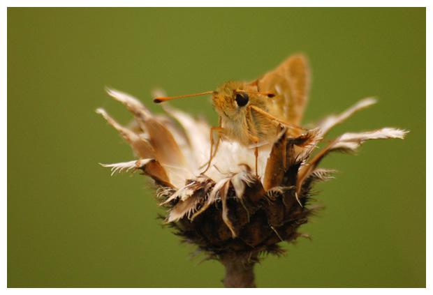 kommavlinder (hesperia comma), kommavlinders, kommavlinderfoto´s, vlinder, vlinders, vlinderfotos, vlinderfoto´s, vlinderfoto's, dagvlinder, dagvlinders, dagvlinderfoto´s, dagvlinderfotos, dikkopje, dikkopjes, insect, insecten, insekt, insekten