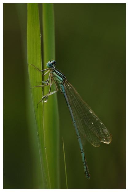 foto's, Blauwe breedscheenjuffer (Platycnemis pennipes), waterjuffer