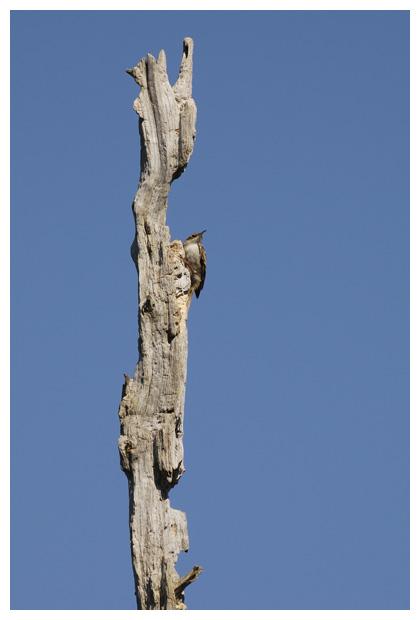 foto's, Boomkruiper (Certhia brachydactyla), vogel