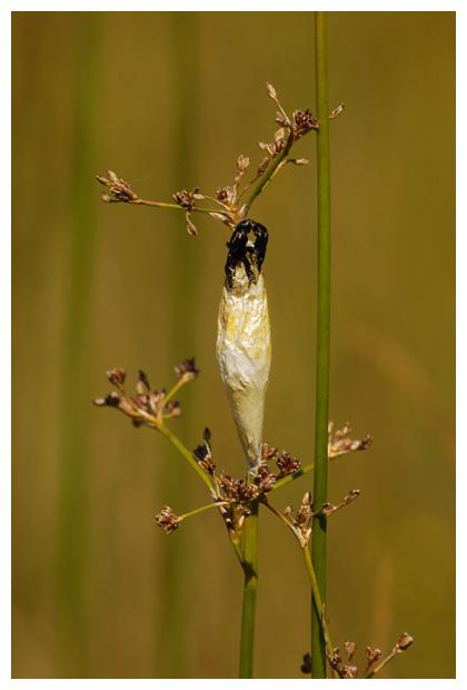 sint jansvlinder of bloeddropje (zygaena filipendulae), (zygaenidae), jansvlinders, bloeddrupje, bloeddrupjes, sint-jansvlinderfoto´s, nachtvlinder, nachtvlinders, nachtvlindertje, nachtvlindertjes, nachtvlinderfoto´s, nachtvlinderfoto's, nachtvlinderfotos, vlinder, vlinders, vlindertje, vlindertjes, mot, motten, het motje,  motjes, uil, uilen, uiltje, uiltjes, insect, insecten, insekt, insekten