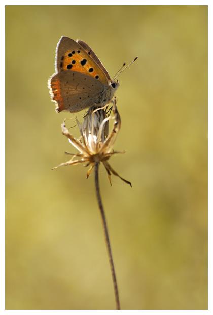 kleine vuurvlinder (lycaena phlaeas), klein vuurvlinders, vuurvlindertje, vuurvlinderfoto´s, vlinder, vlinders, vlindertje, vlindertjes, vlinderfotos, vlinderfoto´s, vlinderfoto's, dagvlinder, dagvlinders, dagvlinderfoto´s, dagvlinderfotos, insect, insecten, insekt, insekten