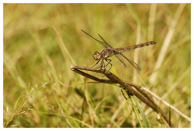 bruinrode heidelibel (sympetrum striolatum), heidelibellen, heidelibelles, heidelibelfoto´s, familie: korenbouten (libellulidae), onderorde: echte libellen (anisoptera), orde: libellen (odonata), libel, libellen, libelfoto´s, libelfoto's, libelfotos, libellenfoto´s, libellenfoto's, libellenfotos, libelle, insect, insecten, insekten, insekten