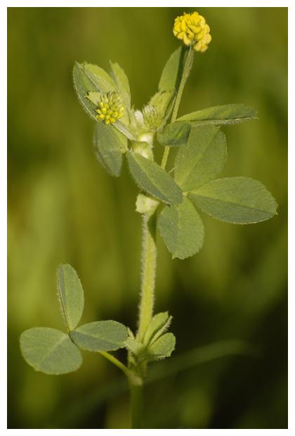 hopklaver (medicago lupulina), klaver, rupsklaver (medicago), vlinderbloemenfamilie (leguminosae of fabaceae), (fabales), gele kruipende, vaste