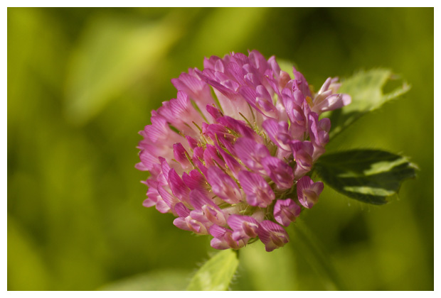 foto's, Rode klaver (Trifolium pratense), plant