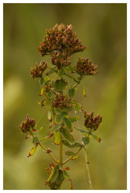 foto's, Gevleugeld hertshooi (Hypericum tetrapterum), plant