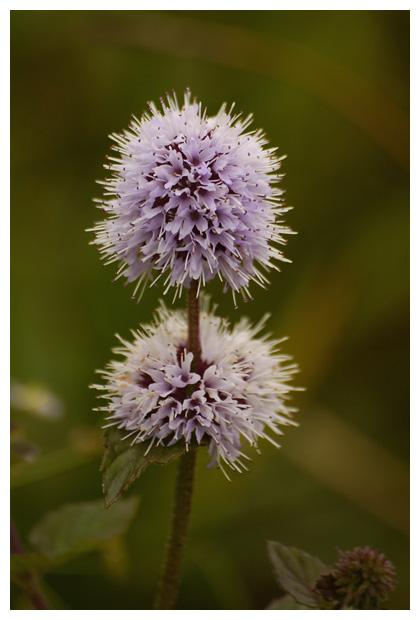 foto's, Watermunt (Mentha aquatica), oeverplant