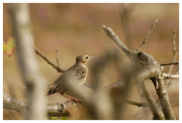 foto's, Boompieper (Anthus trivialis), vogel
