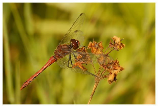foto's, Bloedrode heidelibel (Sympetrum sanguineum), libel