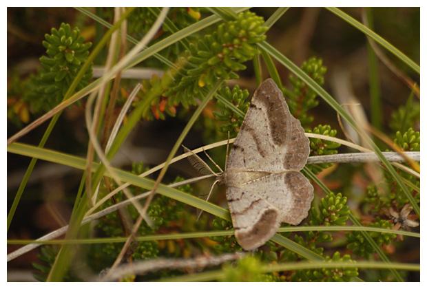 bruine heispanner  (selidosema brunnearia)